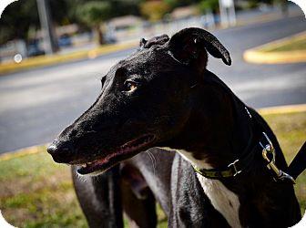 Greyhound Dog for adoption in Sarasota, Florida - Crazydixon