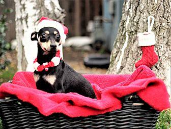 Chihuahua Mix Dog for adoption in Sacramento, California - Zoe