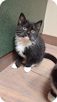 Domestic Shorthair Kitten for adoption in Naperville, Illinois - Rey