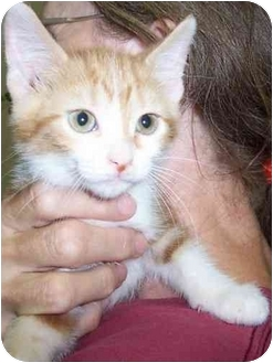 Domestic Shorthair Kitten for adoption in Alden, Iowa - Sami