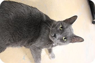 Russian Blue Cat for adoption in New Richmond,, Wisconsin - Rocky