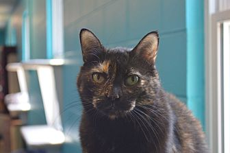 Domestic Shorthair Cat for adoption in House Springs, Missouri - Sheila