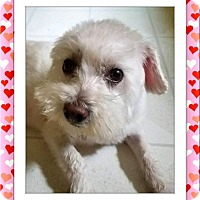 Bichon Frise Dog for adoption in Tulsa, Oklahoma - Adopted!! Gumby and Lola - OH