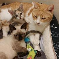 Adopt A Pet :: Munchkin - Houston, TX