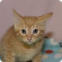 Domestic Shorthair Kitten for adoption in Medina, Ohio - Samson