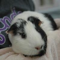 Adopt A Pet :: Maggie - Bedford, NH