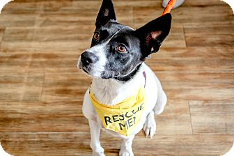 Pointer/Australian Shepherd Mix Dog for adoption in Jersey City, New Jersey - Frankie Heck