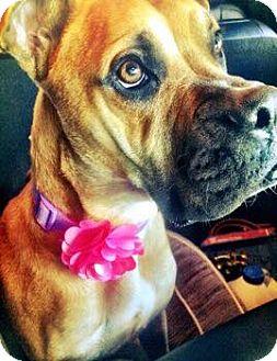 Boxer Mix Dog for adoption in Washington, D.C. - Roxie
