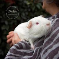 Guinea Pig for adoption in Redmond, Washington - Hamton J. Pig (bonded with Porky Pig)