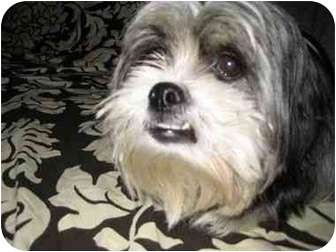 Shih Tzu Dog for adoption in Long Beach, New York - Pearl