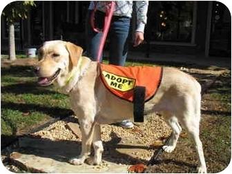 Labrador Retriever Mix Dog for adoption in Cumming, Georgia - Butterscotch