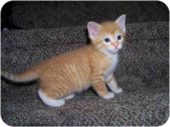Domestic Shorthair Kitten for adoption in Brighton, Michigan - Jelly Bean