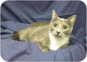 Domestic Shorthair Cat for adoption in Sacramento, California - Destiny