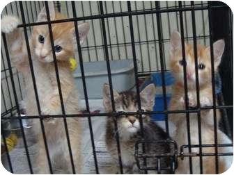 Domestic Mediumhair Kitten for adoption in Arkadelphia, Arkansas - Kittens2