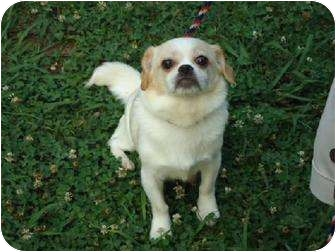Pekingese Mix Dog for adoption in Hagerstown, Maryland - Relayna