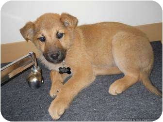 Shepherd (Unknown Type) Mix Puppy for adoption in Morden, Manitoba - Knickers