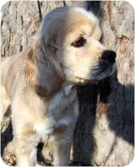 Cocker Spaniel Dog for adoption in Sugarland, Texas - Canyon