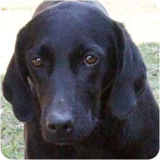 Hound (Unknown Type)/Labrador Retriever Mix Dog for adoption in Westport, Connecticut - *Beth - PENDING