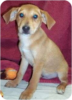 Treeing Walker Coonhound/Golden Retriever Mix Puppy for adoption in Londonderry, New Hampshire - Duffy reduced