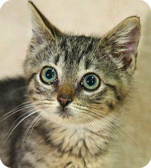 Domestic Shorthair Kitten for adoption in Medford, Massachusetts - Stormy