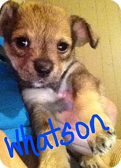 Chihuahua/Poodle (Miniature) Mix Puppy for adoption in Hammond, Louisiana - Watson