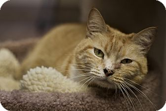 Domestic Shorthair Cat for adoption in St. Petersburg, Florida - Snootzie