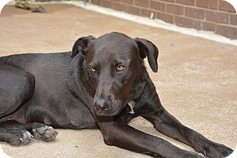 Labrador Retriever Mix Dog for adoption in Richmond, Missouri - Maggie