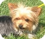 Yorkie, Yorkshire Terrier Mix Dog for adoption in Wheaton, Illinois - Bella