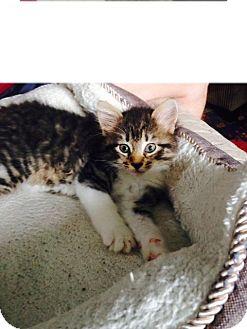 Domestic Mediumhair Kitten for adoption in Bedford, Massachusetts - Elfie