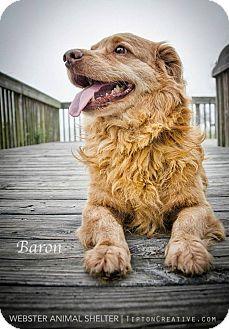 Corgi/Nova Scotia Duck-Tolling Retriever Mix Dog for adoption in Webster, Texas - Red Baron