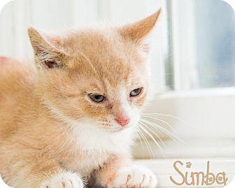 Domestic Shorthair Kitten for adoption in Somerset, Pennsylvania - Simba