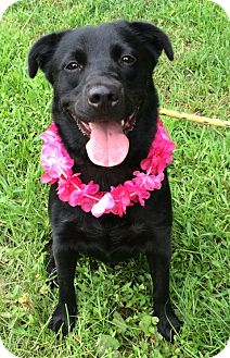 Labrador Retriever Mix Dog for adoption in Germantown, Tennessee - Tallulah