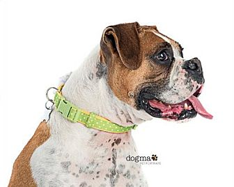 Boxer Dog for adoption in Los Angeles, California - PALOMA PICASSO