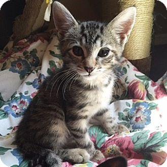 Domestic Shorthair Kitten for adoption in New  York City, New York - Tatanka