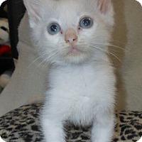 Adopt A Pet :: Diva - Reston, VA