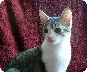 Domestic Shorthair Kitten for adoption in League City, Texas - Esme'  -- ADOPTED