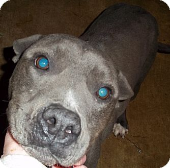 Pit Bull Terrier Dog for adoption in Greenville, Kentucky - bell URGENT