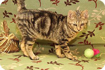 Domestic Shorthair Cat for adoption in Marietta, Ohio - Stewart