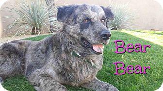 Catahoula Leopard Dog Mix Dog for adoption in Scottsdale, Arizona - Bear Bear