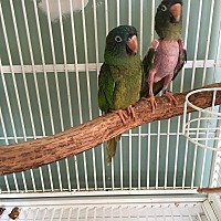 Conure for adoption in Blairstown, New Jersey - Molly & Paulie - bonded