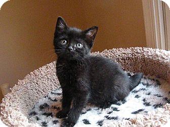 Domestic Shorthair Kitten for adoption in Turnersville, New Jersey - Sparkles