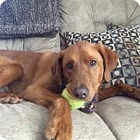 Adopt A Pet :: Brody - Plainfield, CT