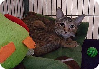 Domestic Shorthair Cat for adoption in Freeport, New York - Brooklyn