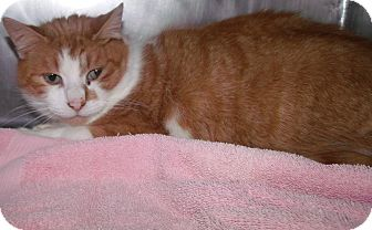 Domestic Shorthair Cat for adoption in Muskegon, Michigan - orange boy