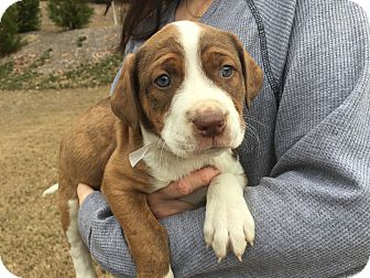 Boxer Mix Puppy for adoption in Acworth, Georgia - People - Magazine Litter