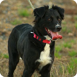 Border Collie Mix Dog for adoption in Eden, North Carolina - Ladie