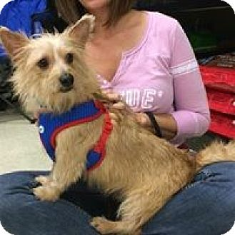 Terrier (Unknown Type, Small) Mix Dog for adoption in Phoenix, Arizona - Sam