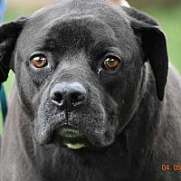 Adopt A Pet :: Spade - Seattle, WA