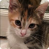 Adopt A Pet :: Ivy - Novato, CA