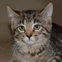Domestic Mediumhair/Domestic Shorthair Mix Cat for adoption in Elk Grove Village, Illinois - Nicky